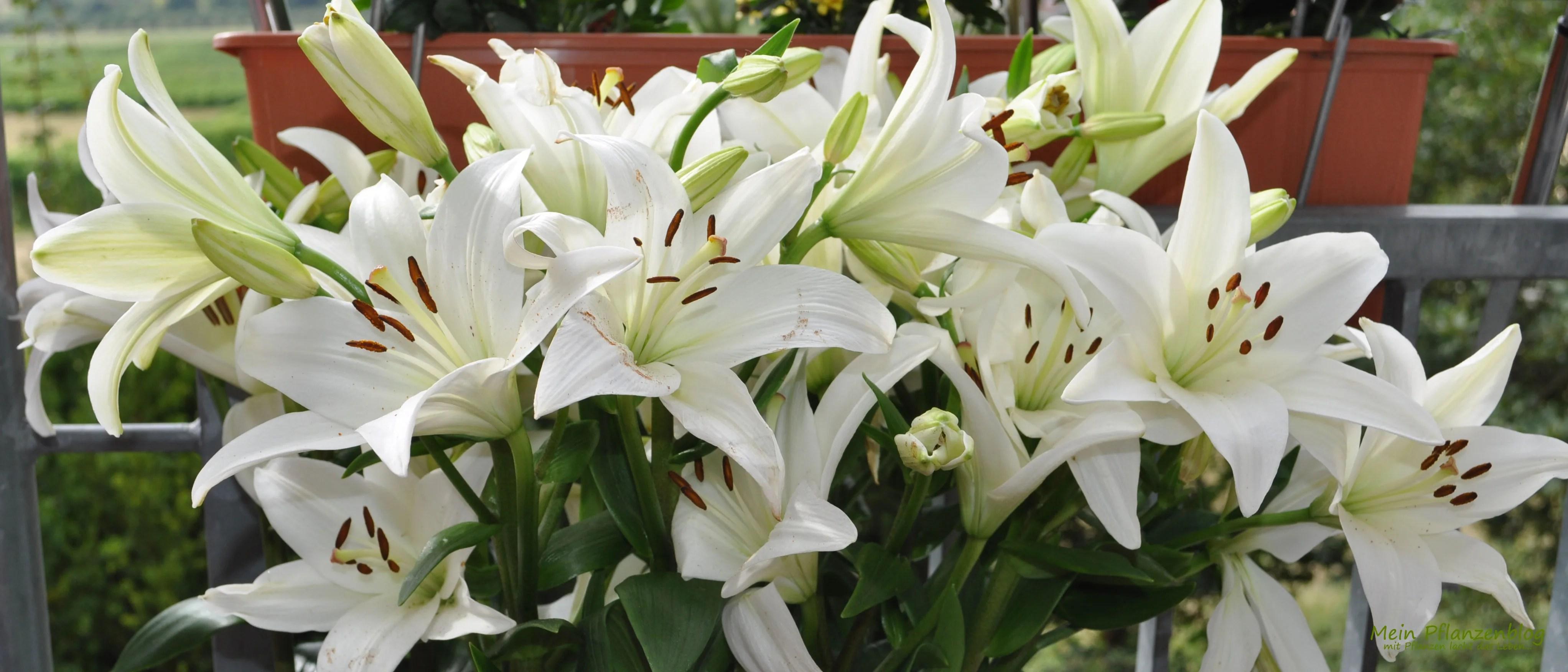Weie Lilien von LiebevollBlumen  MeinPflanzenblog