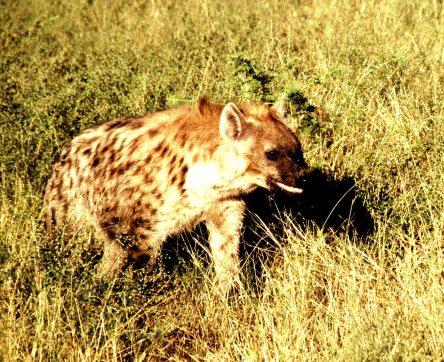 Hyäne auf Pirsch