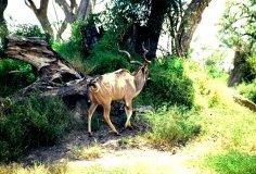 Großhornantilope