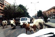 Heilige Kühe haben Vorfahrt