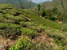 Darjeeling-2015-15