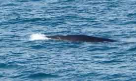 Wal mit Volldampf - Island