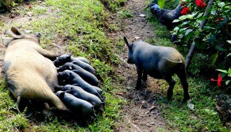 Heute eine intakte Schweinezucht