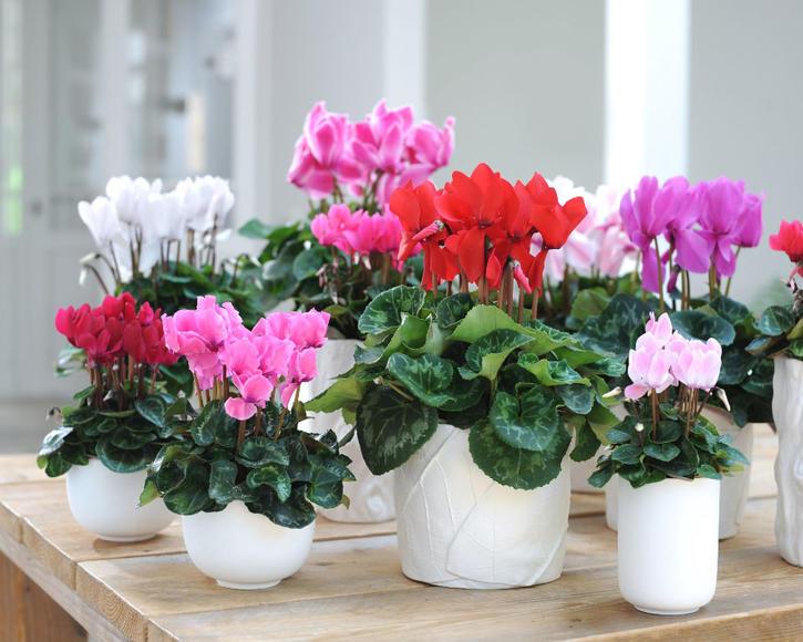 ZimmerAlpenveilchen Cyclamen persicum pflanzen und pflegen Mein schner Garten