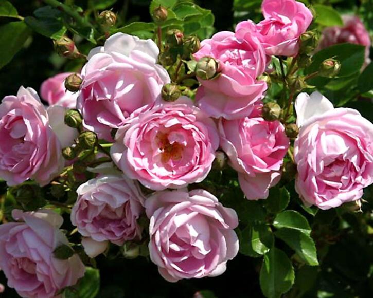 Rosen Pflanzen Pflege Krankheiten  Mein schner Garten