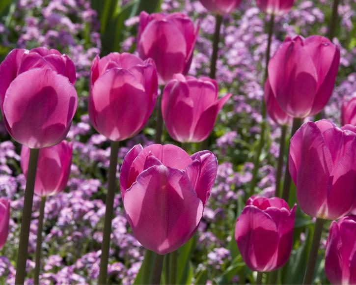 TriumphTulpen pflanzen und pflegen  Mein schner Garten