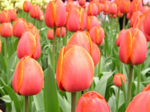 Tulpen Diese Sorten sind besonders langlebig  Mein