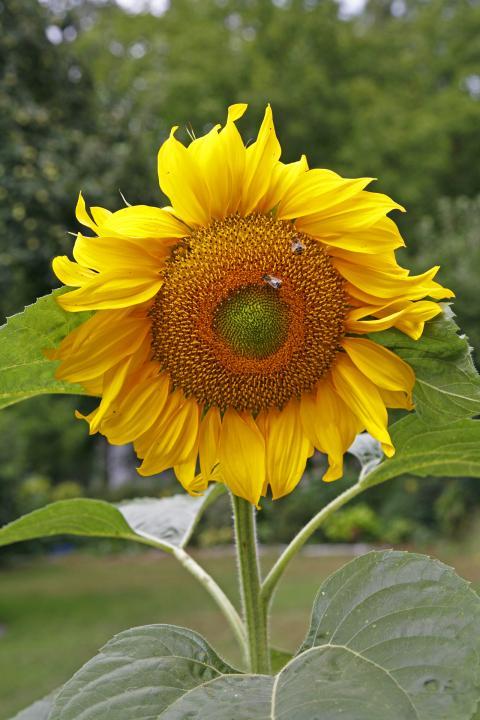 Sonnenblumen  Pflanzen Pflege und Tipps  Mein schner