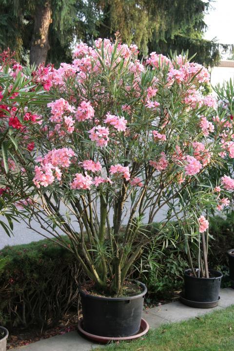Oleander überwintern Mein Schöner Garten