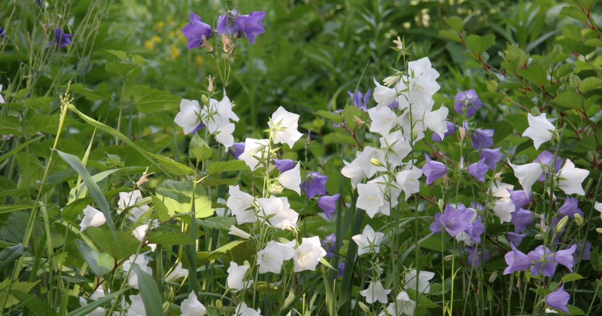 Glockenblume  Pflanzen Pflege und Tipps  Mein schner Garten