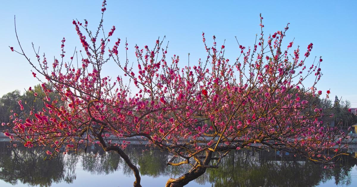 Pfirsichbaum schneiden  Mein schner Garten