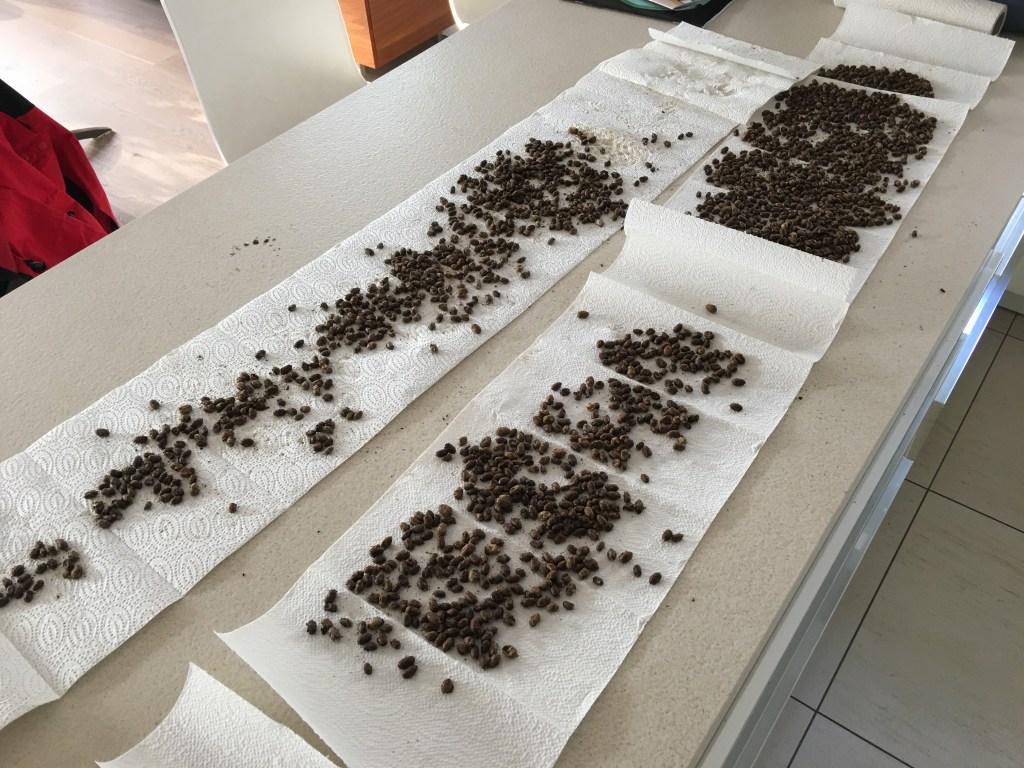 Mauerbienen Kokons werden gewaschen