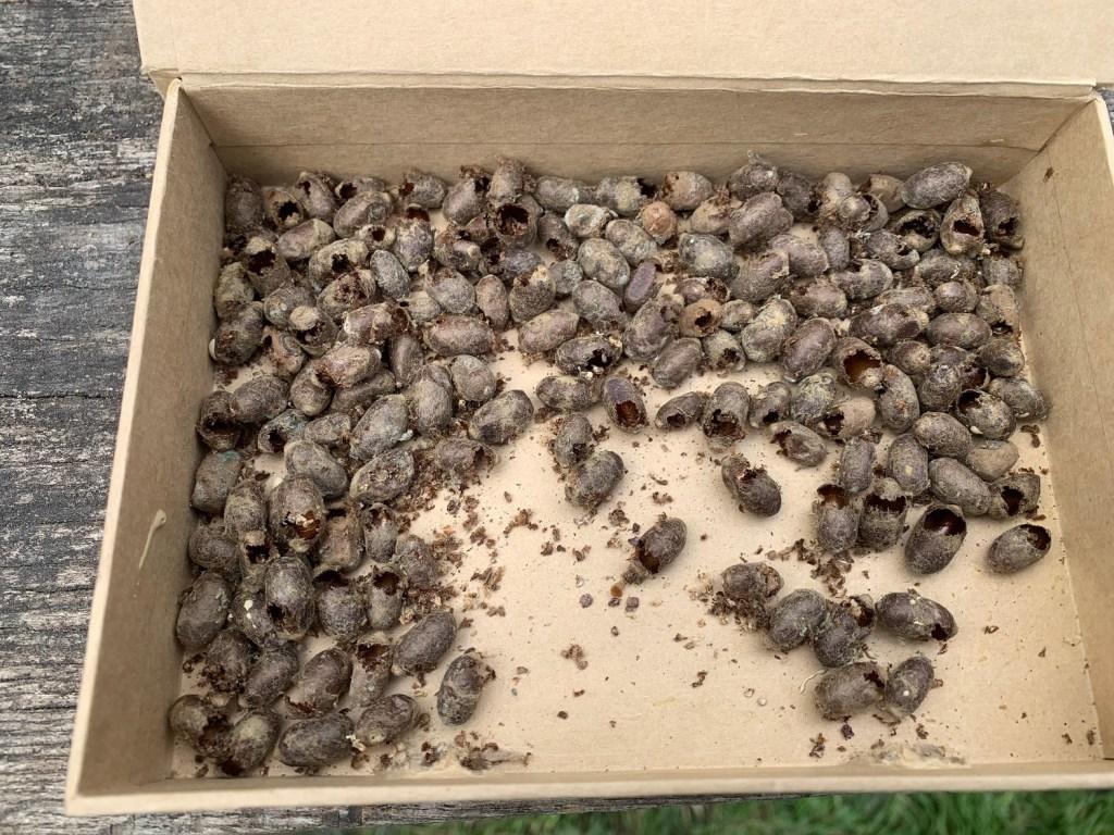 Mauerbienen im April Kokons