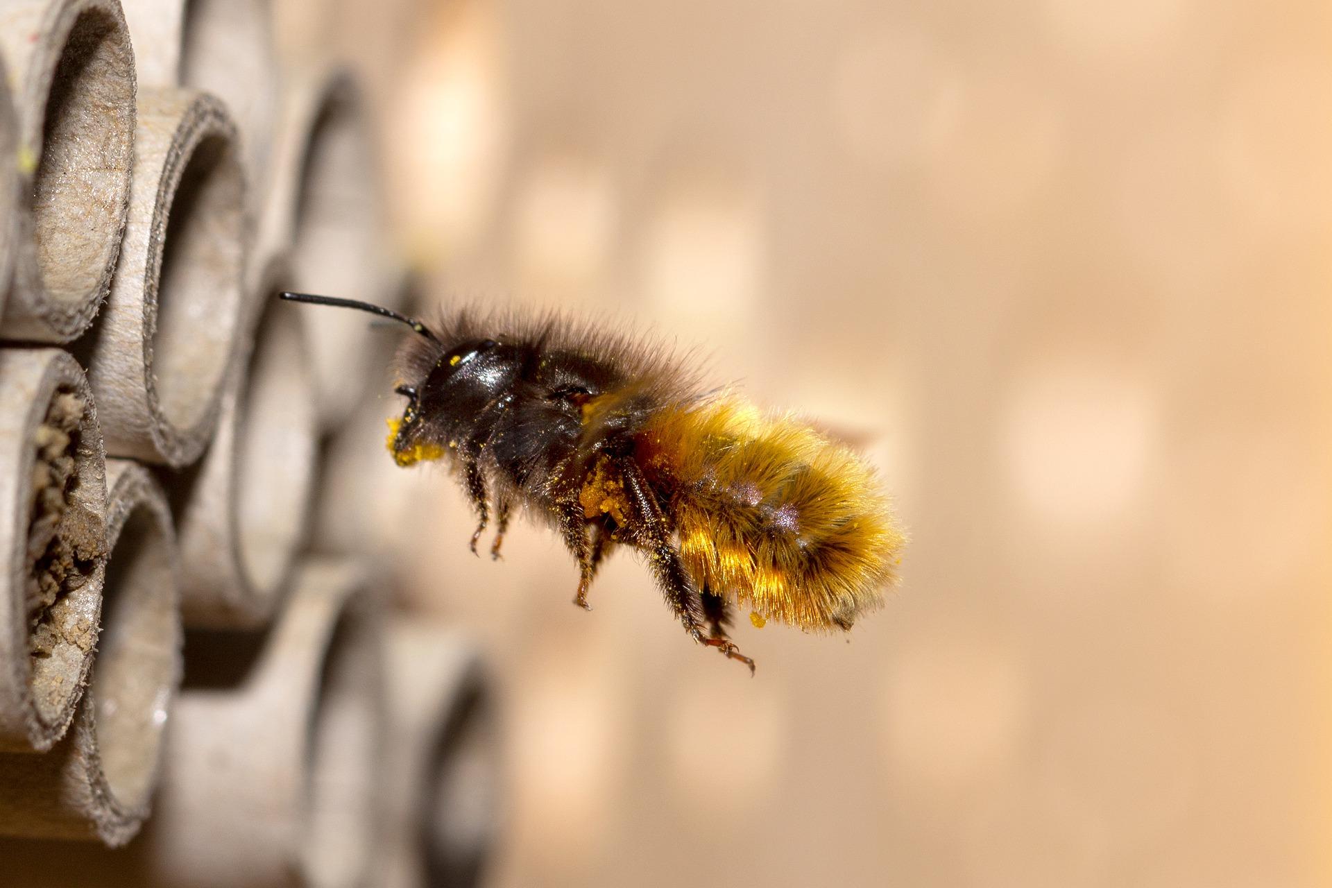 Mauerbienen im Mai Titelbild