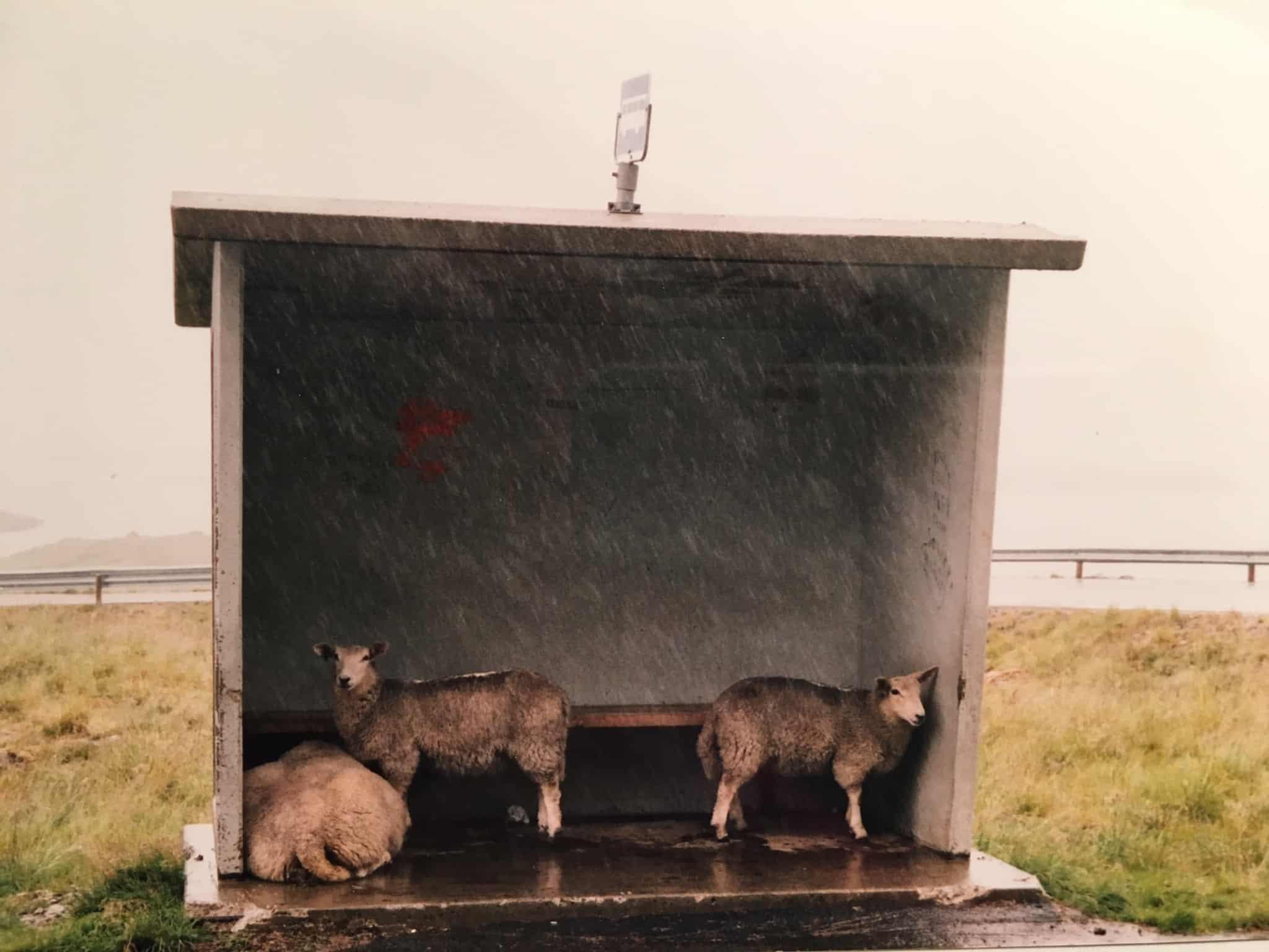 Schafe im Buswartehäuschen
