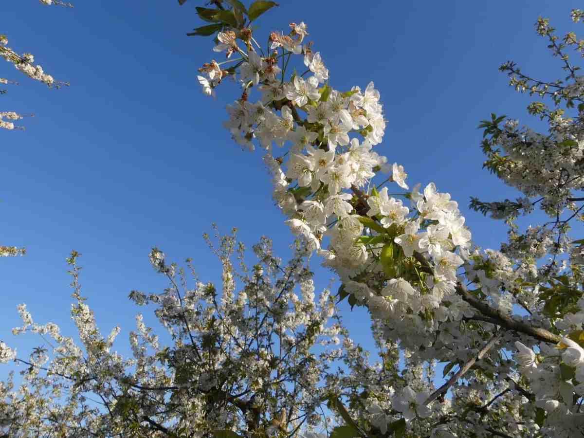 """Im Blütenrausch auf dem """"Traumpfad Streuobstwiesenweg"""""""