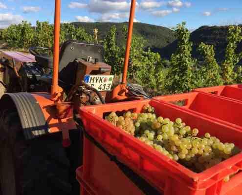 Weinlese in Winngen, Trauben und Traktor
