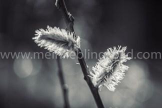Frühlingsfoto - Knospe in schwarzweiß