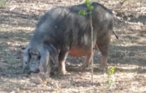 Meishan Pig at Gods Blessing Farm TN