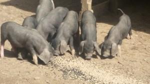 Meishan Piglets