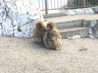 Apes den Gibraltar