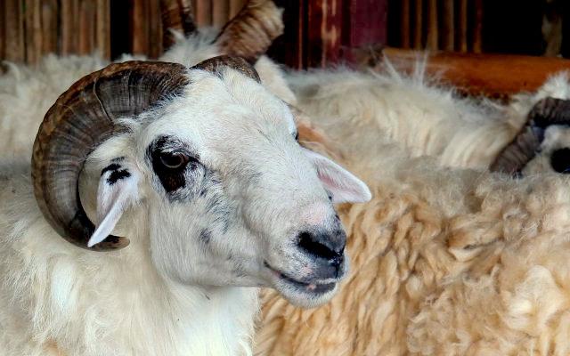 Panduan Dasar Ternak Domba Menguntungkan