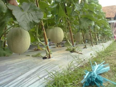 Panduan Cara Budidaya Tanaman Melon Step By Step | Artikel Pertanian
