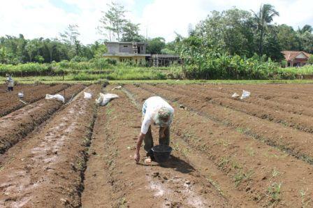 Panduan Cara Budidaya Jahe Step by Step | Artikel Pertanian