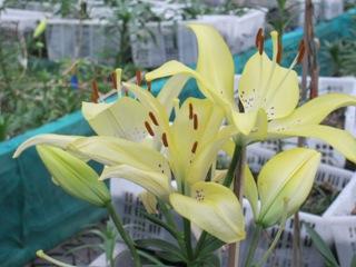 Pertanian: Teknik Budidaya Bunga Lily