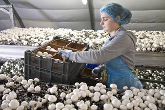 Inilah Cara Budidaya Jamur Kancing Organik Bagi Pemula | Artikel Pertanian