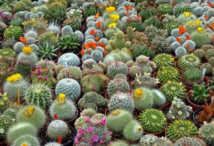 6 Cara Merawat Tanaman Kaktus dan Jenisnya | Artikel Pertanian