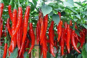 13 Cara Menanam Cabe Merah di Tanah Gambut | Artikel Pertanian