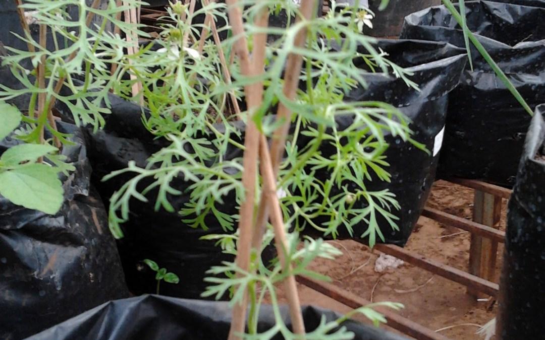 4 Cara Budidaya Jintan Hitam Yang Mudah Dilakukan | Artikel Pertanian