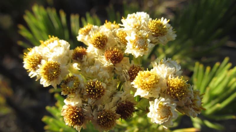 Apakah Ada Cara Merawat Bunga Edelweis yang Sudah Dipetik? | Artikel Pertanian
