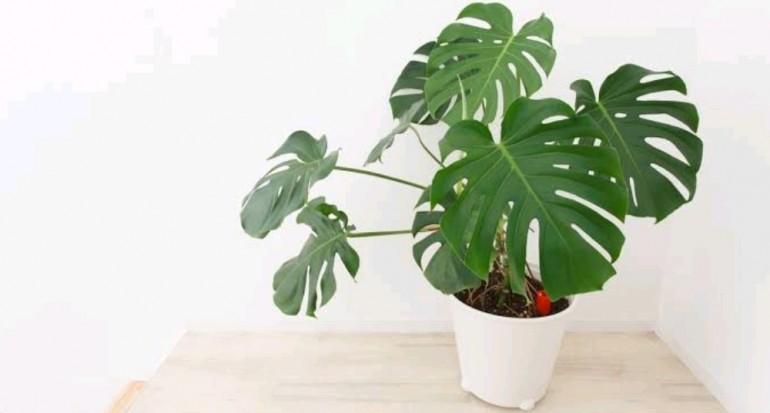 Cara Budidaya Tanaman Hias Philodendron dan Perawatannya | Artikel Pertanian