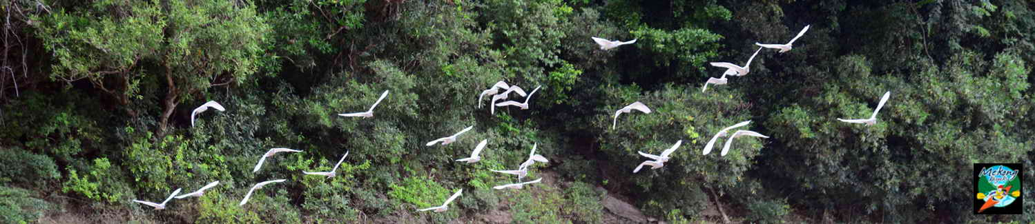 Image of snow white egrets flying along the Mekong Rivers