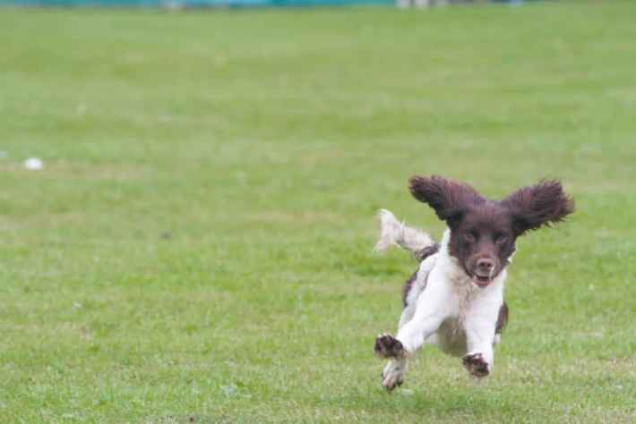 Photo of a Spaniel doing a working dog demonstration at the Scottish Game Fair. It's legs are outstretched and ears are up in the air.