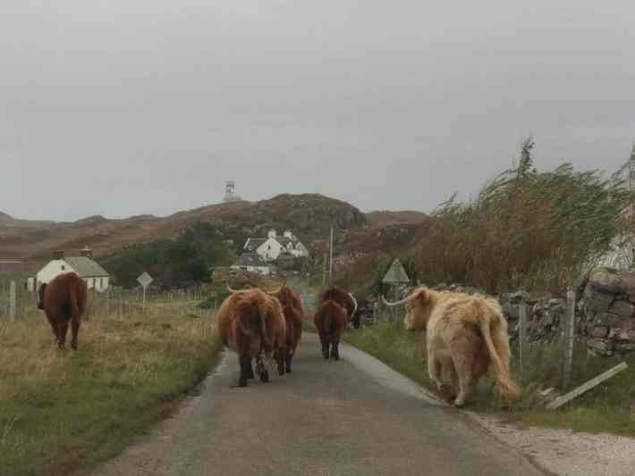 Highland cattle walking along the road in the highlands of Scotland