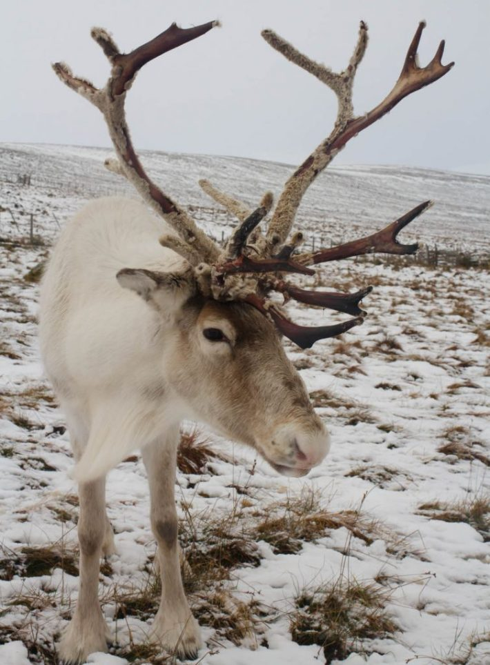 Cairngorm Reindeer Centre. A reindeer in the snow. The velvet is coming off it's antlers