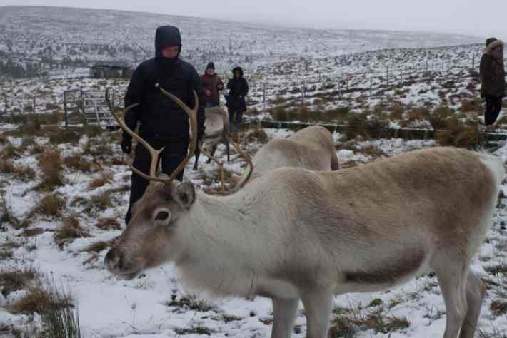 Cairngorm Reindeer Centre. People on a tour looking at the reindeer. Snow on the ground