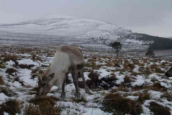 Cairngorm Reindeer Centre. A reindeer gazing on the snow covered hills in Scotland