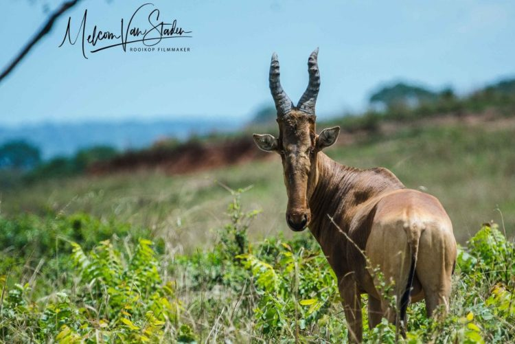 Melcom Van Staden - Uganda Wildlife Safaris Hunting Sitatunga and Nile Buffalo, Jacksons Hartebeest