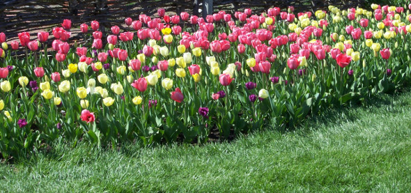 Pink and Yellow Tulip Bed