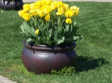 Yellow Tulips in a lovely Pot