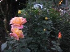 Kodai Roses