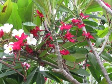 White & Red Frangipani