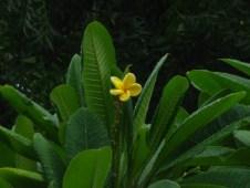 Yellow Frangipani