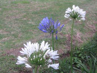 White and Blue Agapanthus Flowers