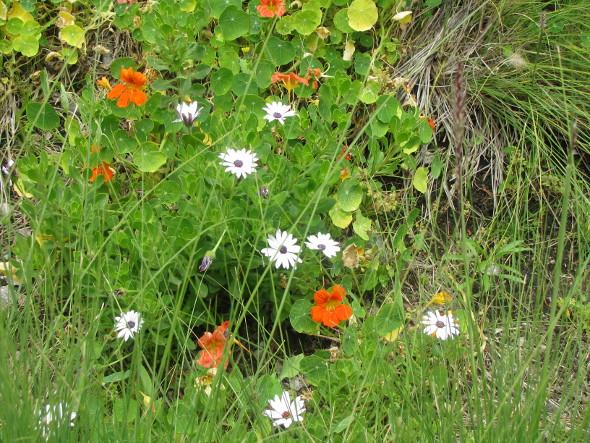 Nasturium Flowers