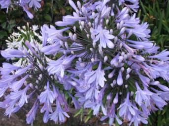 Purple Agapanthus Flowers